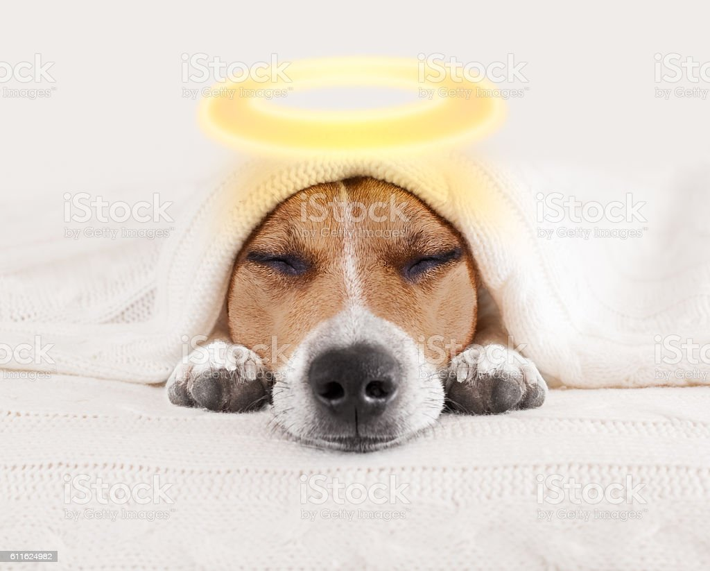 sleeping angel halo dog in bed stock photo