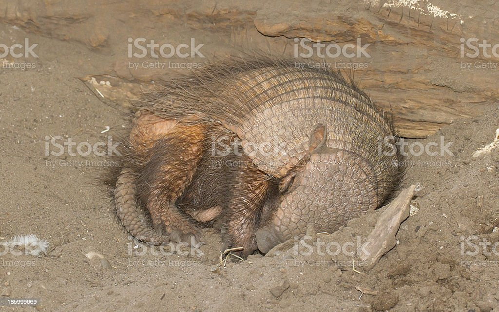 Sleeping armadillo (Chaetophractus villosus) stock photo