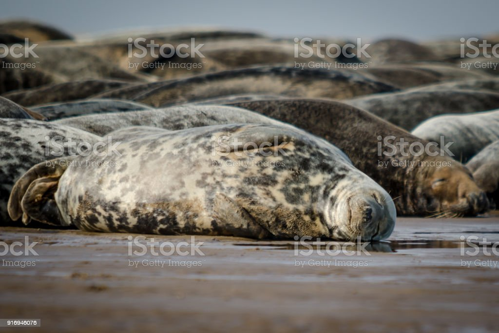 Sleeping Atlantic Grey Seals stock photo
