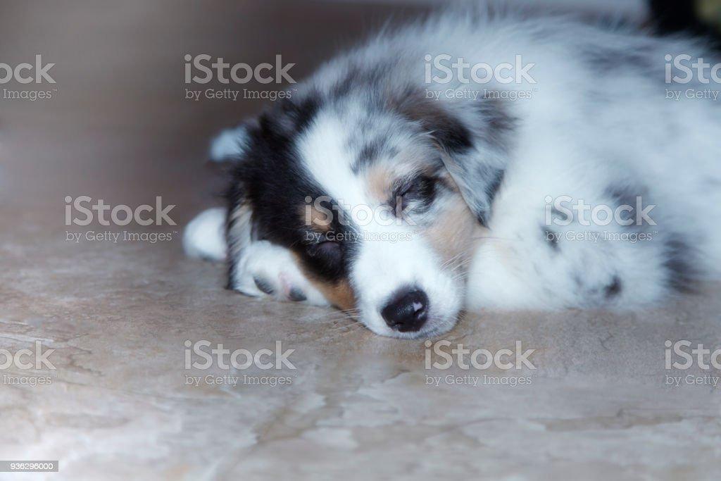 Sleeping Australian Shepherd Puppy Snuggled Up On The Floor Stock Photo Download Image Now Istock