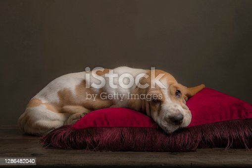 Sleeping basset hound puppy on a red pillow in a still life ambiance