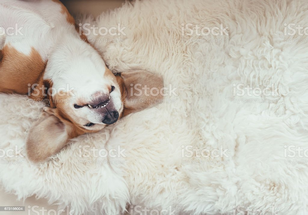 Sleeping beagle dog lies on the fur coverlet on sofa stock photo