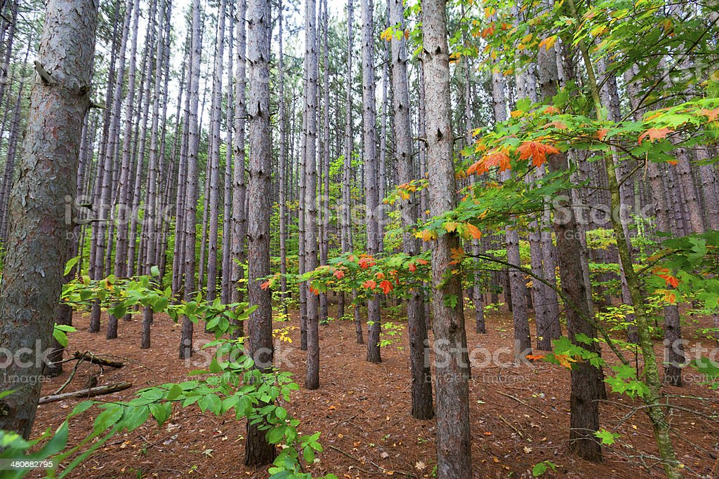 Sleeping Bear Dunes Pine Plantation stock photo