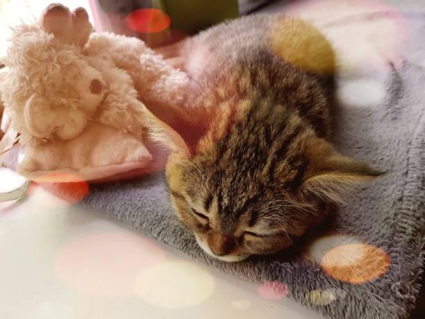 sleeping beautiful cat - batalina cats стоковые фото и изображения