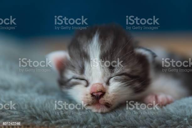 Sleeping beauty kitten picture id831242246?b=1&k=6&m=831242246&s=612x612&h=6aovoiez3i2jovhunnsn8jqtl1pbar5trah4kn3bxuu=
