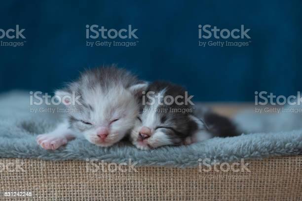 Sleeping beauty kitten picture id831242248?b=1&k=6&m=831242248&s=612x612&h=sdghee4icyvc56j6xkmy47hwl1zmrfz1p2cgaqbx 98=