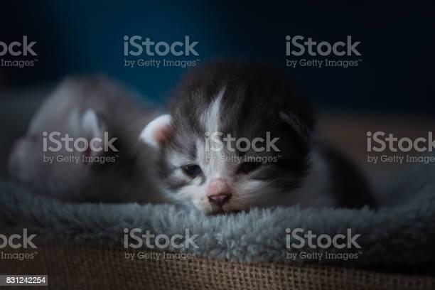 Sleeping beauty kitten picture id831242254?b=1&k=6&m=831242254&s=612x612&h=iykrf2mmg3r26szkl nbqrronlusnauegulngrqm6pa=