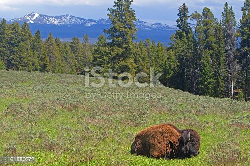 Sleeping Bison within Yellowstone NP, WY