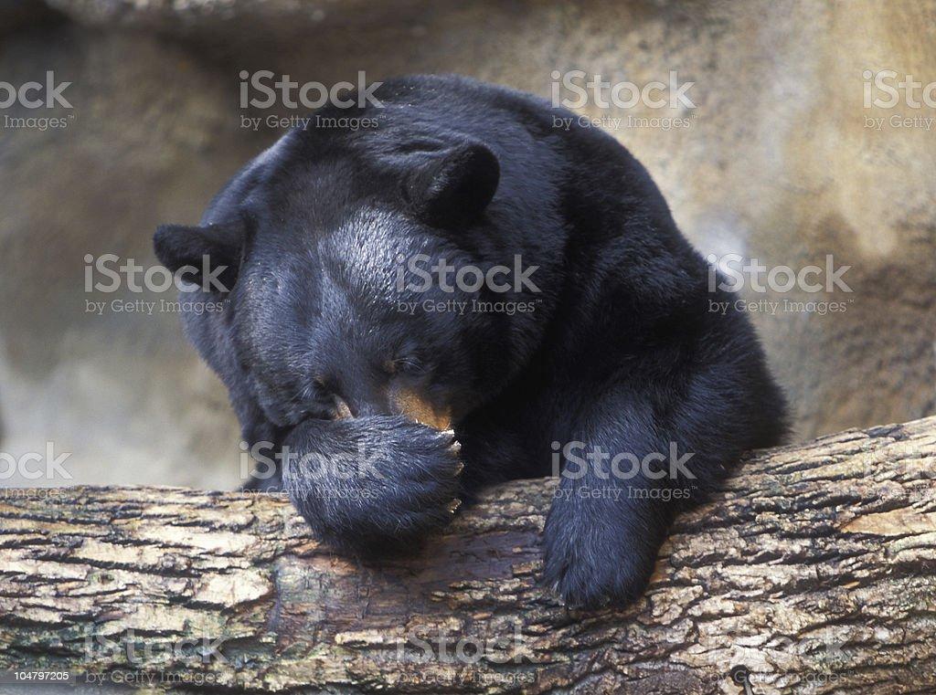 Sleeping black bear stock photo