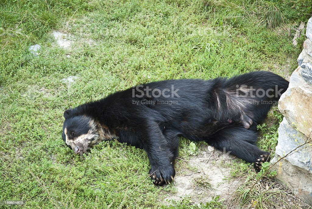 Sleeping black bear with spread legs stock photo