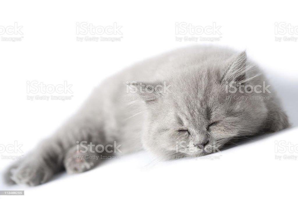 sleeping blue kitten isolated royalty-free stock photo