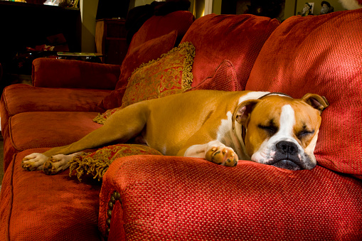 A Boxer puppy laying on her bed in front of a candlelit fireplace.