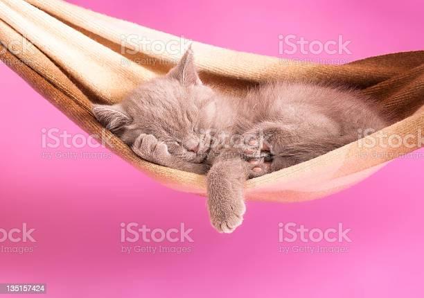 Sleeping british kitten picture id135157424?b=1&k=6&m=135157424&s=612x612&h=uirbuibxll6a66orcnwgyyfnvqmqj 9a unt07oe2eq=