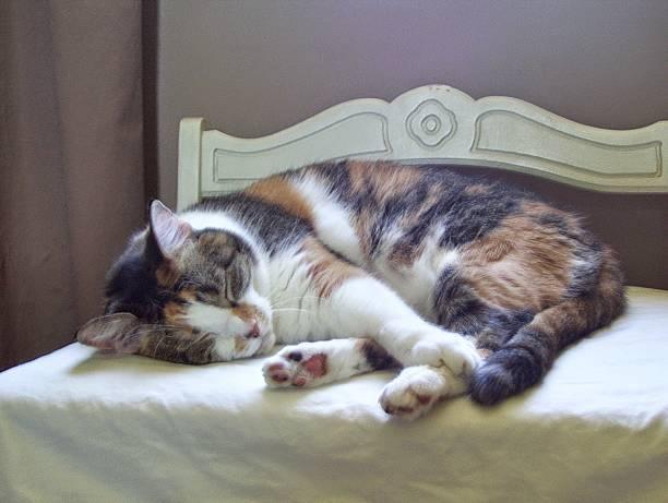 Sleeping Calico Cat stock photo