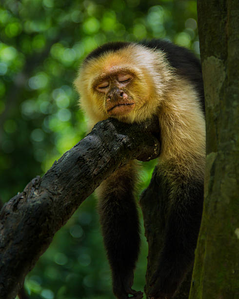 Sleeping Capuchin stock photo