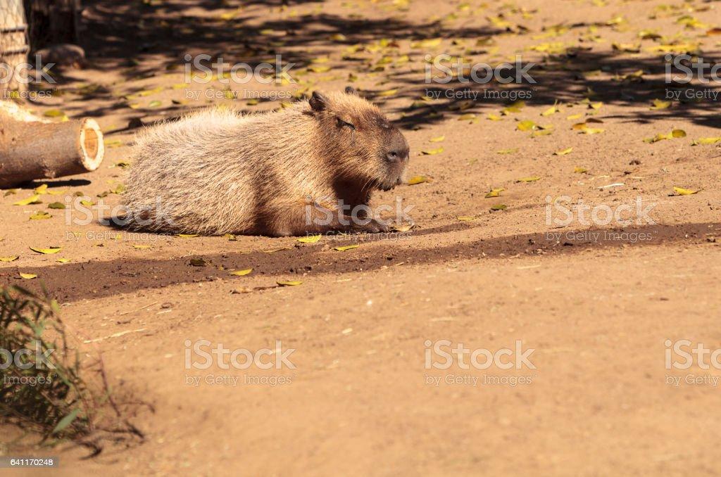 Sleeping capybara known as Hydrochoerus hydrochaeris stock photo