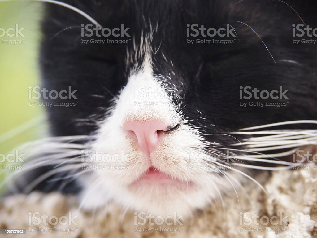 sleeping cat, black and white, focus is on the nose stock photo
