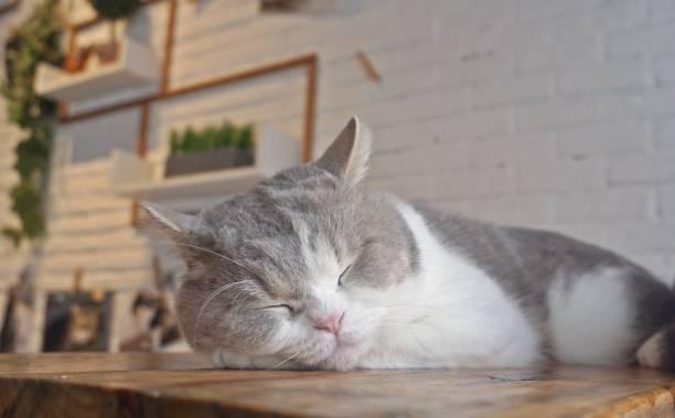Sleeping cat cat cafe thailand picture id942872952?b=1&k=6&m=942872952&s=612x612&w=0&h=kdmdwihzjgcpkshndtptmtx pvktbjhlu7d2uezhehs=