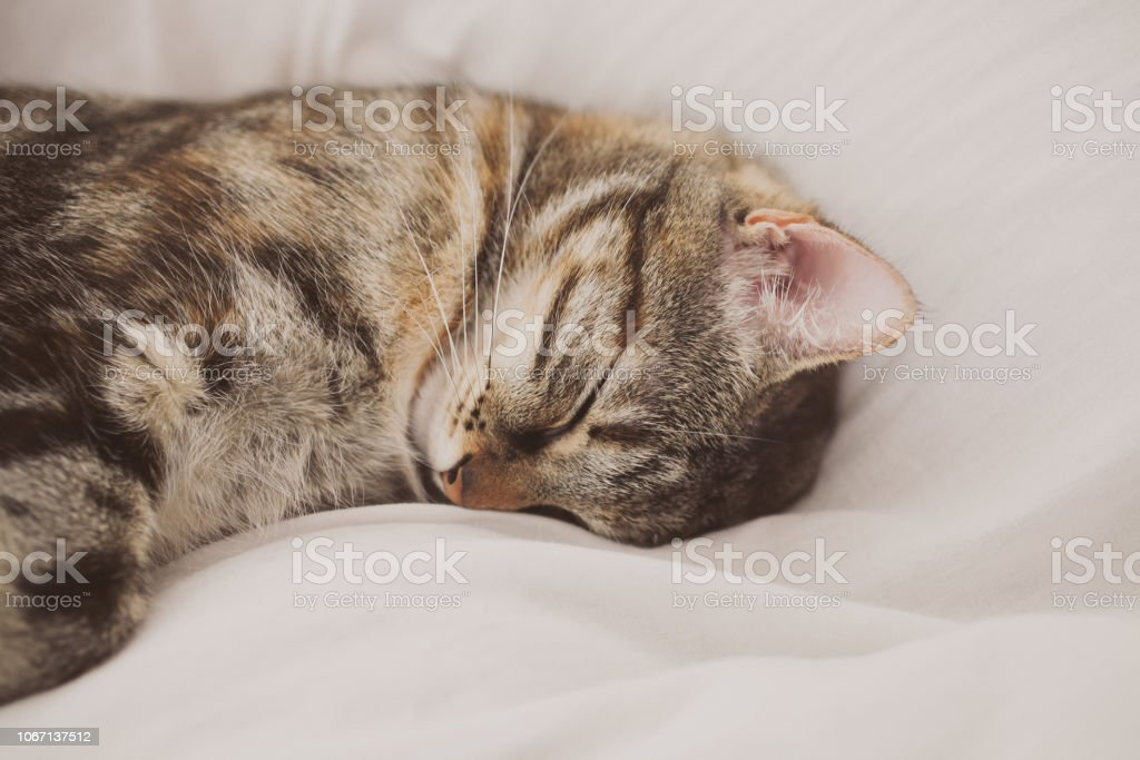 Sleeping cat on white background. Cute European three color cat....