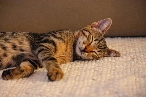 Sleeping cat picture id1186737255?b=1&k=6&m=1186737255&s=612x612&w=0&h=mds1xz2zlk0w plb0scy8su9iqyx0gz yv3ifx4k80w=
