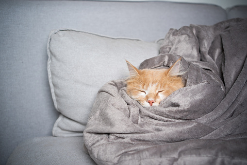 cute maine coon cat sleeping on sofa covered with soft blanket