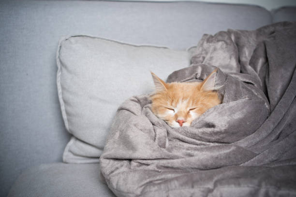 sleeping cat cute maine coon cat sleeping on sofa covered with soft blanket wrapped in a blanket stock pictures, royalty-free photos & images