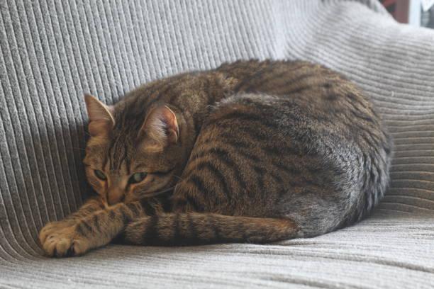 Sleeping cat picture id1246184781?b=1&k=6&m=1246184781&s=612x612&w=0&h=ckwsz 9xtwnz9tzldlj0ata7cdrkjcrn8o fea3wchy=