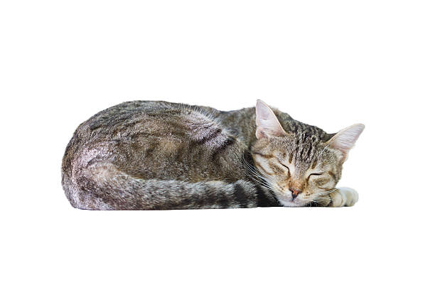 Sleeping cat picture id450319327?b=1&k=6&m=450319327&s=612x612&w=0&h=vp2tboymivyif2m2kxfdiugqdsjbuizaenksjvgmg c=