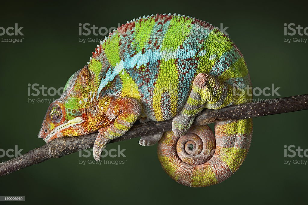 Sleeping Chameleon stock photo