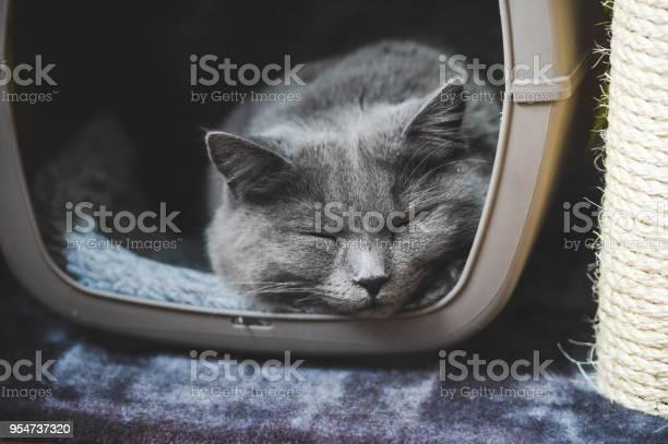 Sleeping chartreux cat picture id954737320?b=1&k=6&m=954737320&s=612x612&h=18vkfs51oshydrr1rz6u9a258 uchoykulqjdsdn4lu=