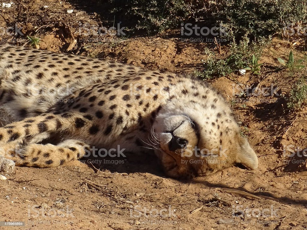 sleeping cheetah from south africa stock photo