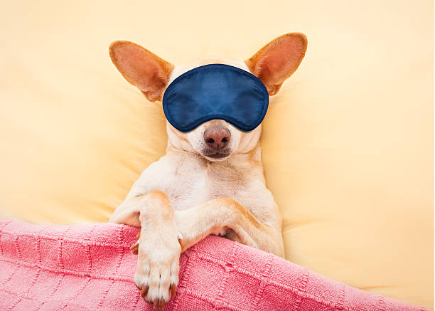 sleeping chihuahua dog stock photo