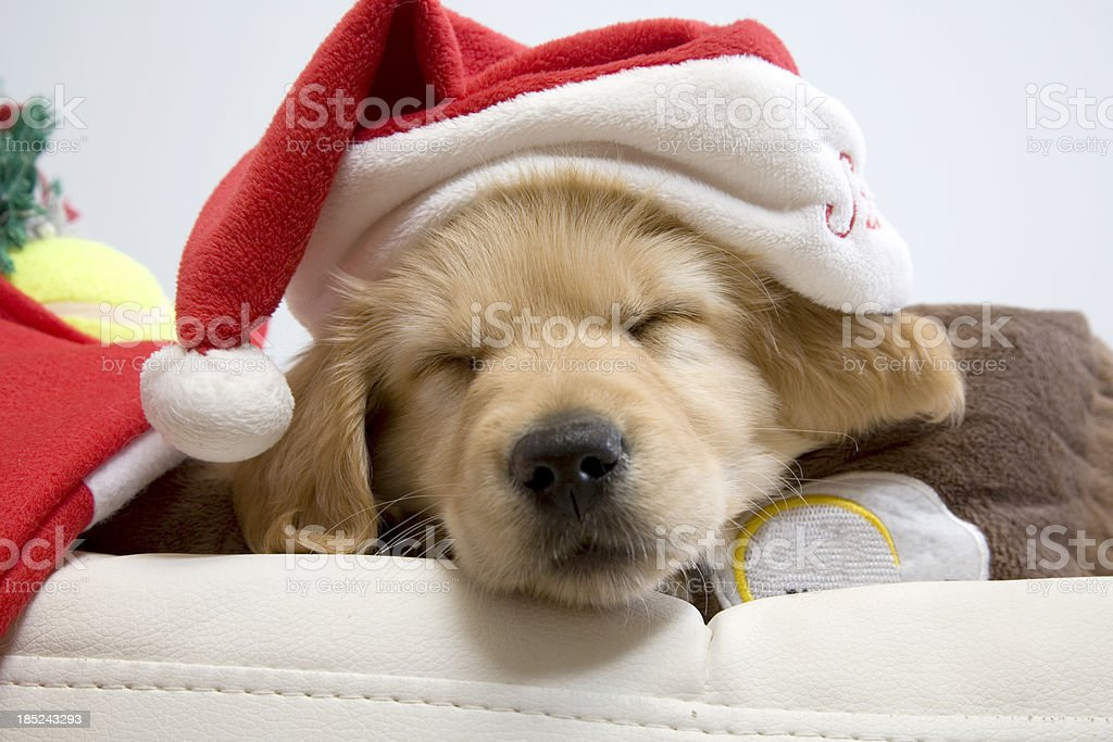 Sleeping Christmas Puppy royalty-free stock photo