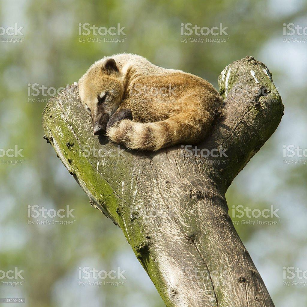 Sleeping coatimundi stock photo