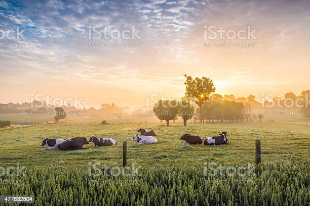 Sleeping cows at sunrise picture id477832804?b=1&k=6&m=477832804&s=612x612&h=c iyeep9nr99ghdhx7wdpefk 2g0mnguvxlrf0o16ec=