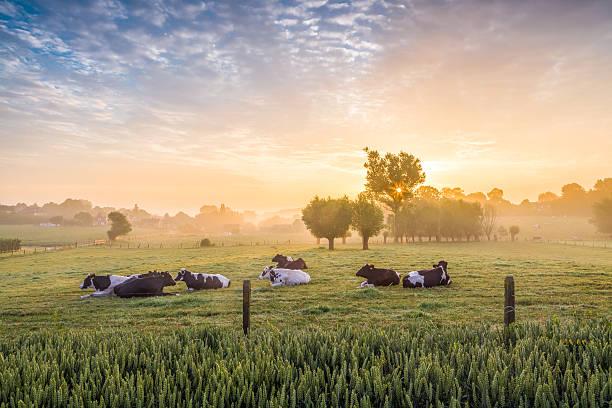 Sleeping cows at sunrise picture id477832804?b=1&k=6&m=477832804&s=612x612&w=0&h=vxjtat7 n3kqajns56sgfsfj99 3ddqvjutvbc5tx7y=