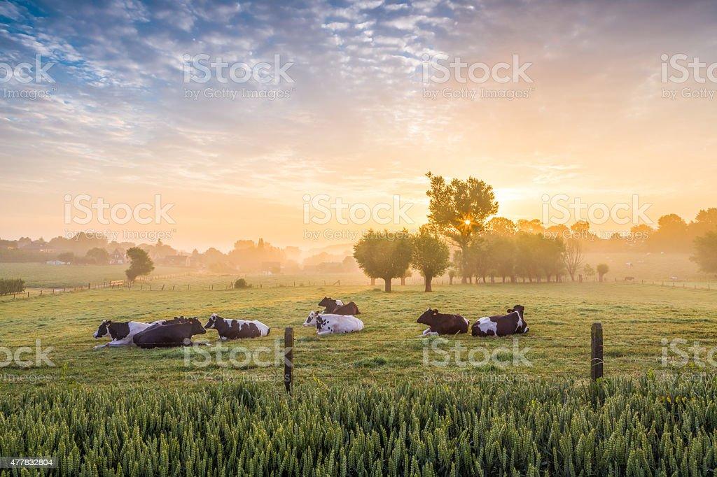 Schlafen Kühe bei Sonnenaufgang – Foto