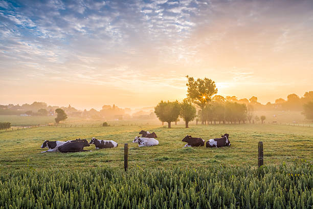 sleeping cows at sunrise - farm stock pictures, royalty-free photos & images