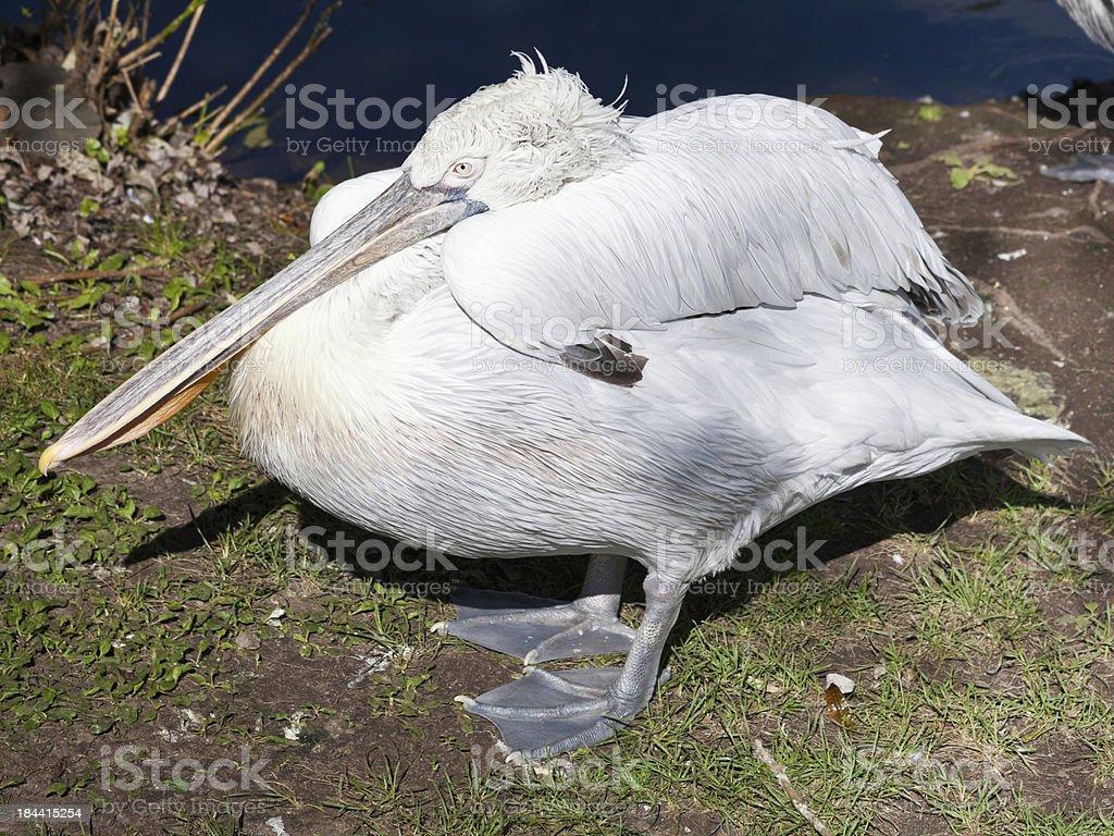 sleeping Dalmatian Pelican royalty-free stock photo