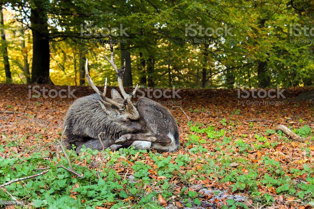 Sleeping deer stock photo