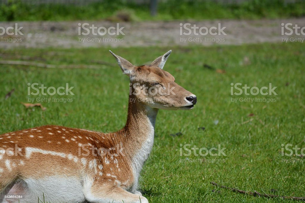 Sleeping deer stock photo