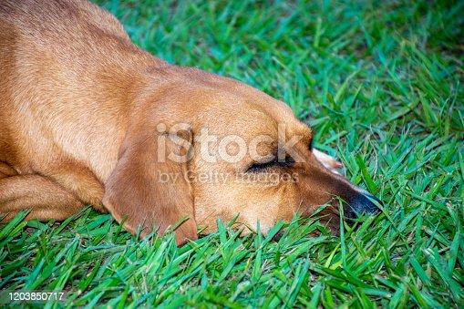 Dog sleeping on farm grass in Mato Grosso do Sul, Brazil
