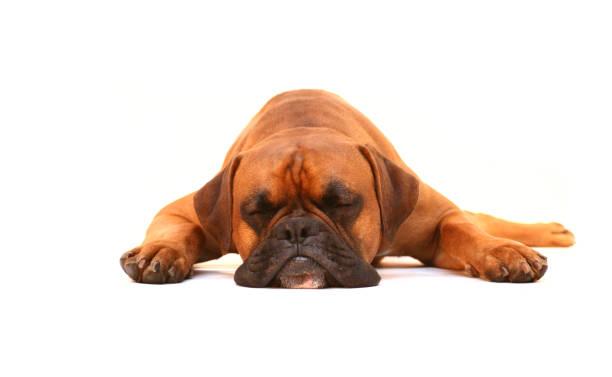 pies spać - bokser pies zdjęcia i obrazy z banku zdjęć
