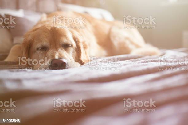 Sleeping dog picture id642053946?b=1&k=6&m=642053946&s=612x612&h=tpfmxdd c1ngmcogor9jewxw0lf0dn5hdbf5vtxyocm=