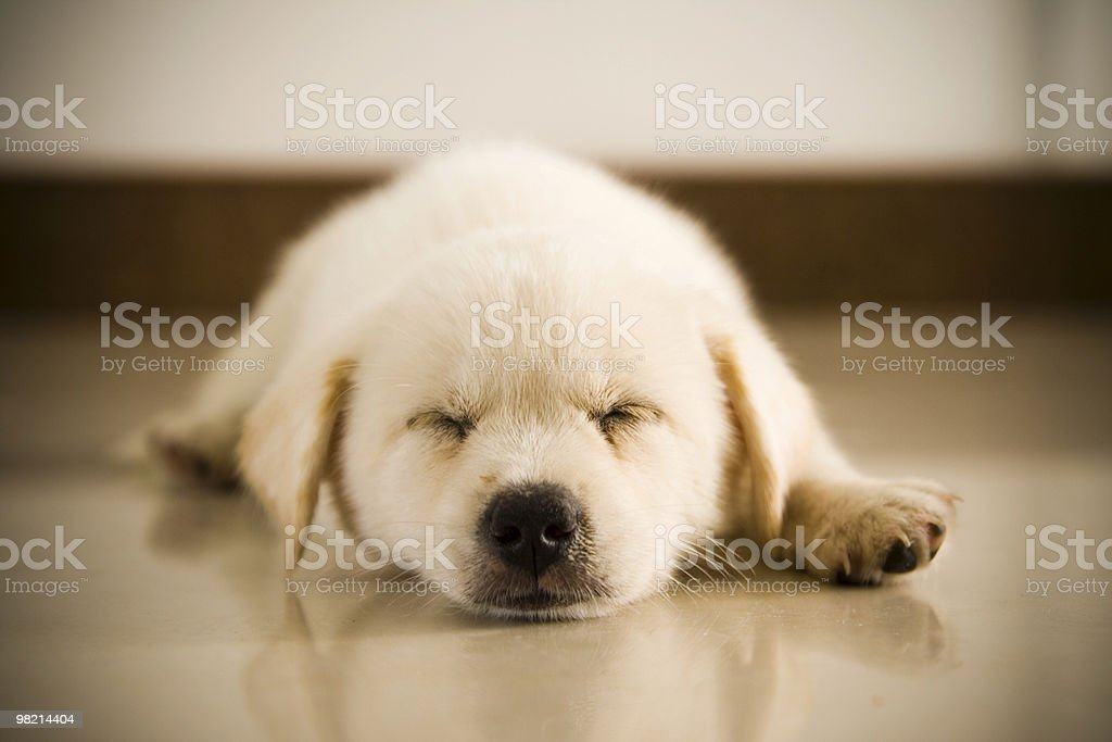 sleeping dog royalty-free stock photo