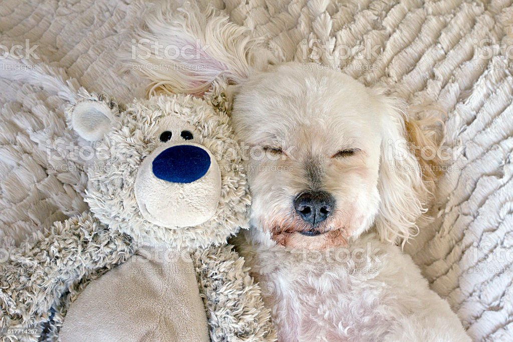 Sleeping Dog with Teddybear stock photo