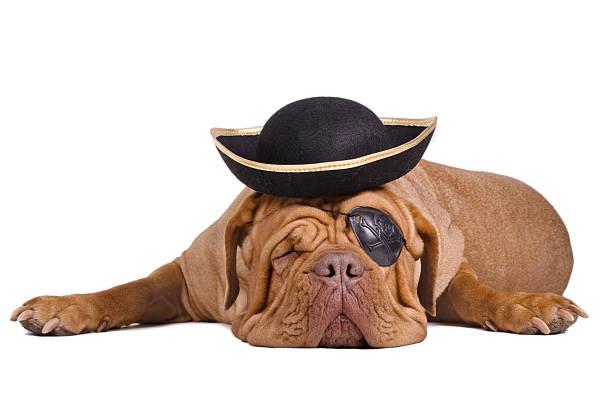 Sleeping Dogue De Bordeaux dressed with pirate hat and eyepatch Sleeping Dogue De Bordeaux dressed with pirate gold and black hat and eye patch costume eye patch stock pictures, royalty-free photos & images