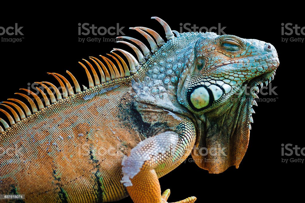Sleeping dragon - Green iguana isolated on black stock photo