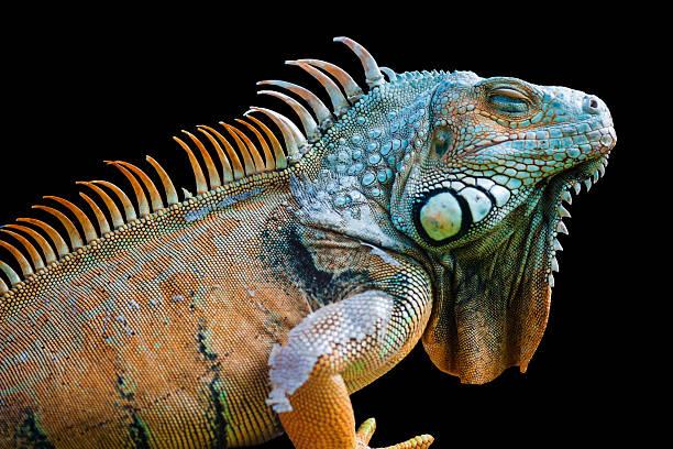 Sleeping dragon - Green iguana isolated on black stock photo