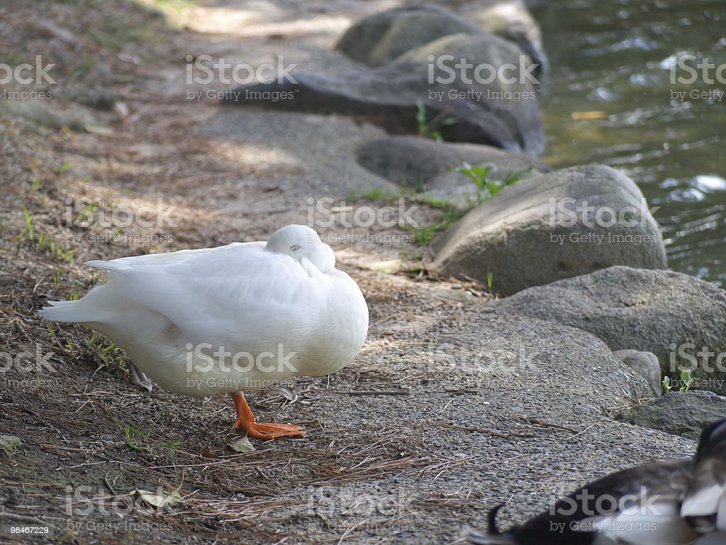 Sleeping Duck royalty-free stock photo